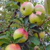 Jabłka na drzewie po deszczu zdjęcie stock