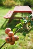 Jabłka na drzewo ogródu światła słonecznego Czerwonej drewnianej stołowej ławce obraz royalty free