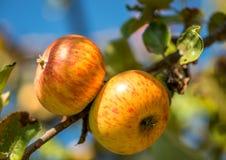 Jabłka na gałąź Fotografia Stock