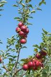 Jabłka na gałąź Obraz Royalty Free