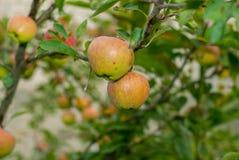 Jabłka na gałąź obrazy royalty free