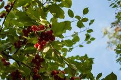 Jabłka na gałąź przygotowywającej zbierającą, outdoors Zdjęcie Royalty Free