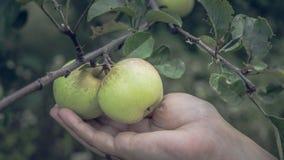 Jabłka na gałąź w lato ogródzie, blisko Dojrzali jabłka wiesza na gałąź w ogródzie zdjęcie royalty free