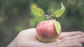 Jabłka na gałąź w lato ogródzie, blisko Dojrzali jabłka wiesza na gałąź w ogródzie obraz stock