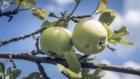 Jabłka na gałąź w lato ogródzie, blisko Dojrzali jabłka wiesza na gałąź w ogródzie obrazy royalty free