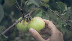 Jabłka na gałąź w lato ogródzie, blisko Dojrzali jabłka wiesza na gałąź w ogródzie obrazy stock
