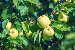 Jabłka na gałąź w sadzie Obraz Stock