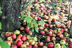 jabłka na krymie august cal dużo trawy jeden mały Ukraine Obrazy Stock