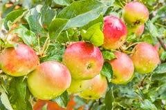 Jabłka na rozgałęziają się zamkniętego up z kroplami deszcz Fotografia Royalty Free