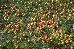 Jabłka na ziemi pod jabłonią podczas jesieni zdjęcie stock
