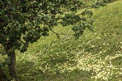 Jabłka na ziemi w jesieni zdjęcia royalty free