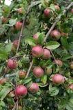 jabłka oddział drzewo Zdjęcia Royalty Free