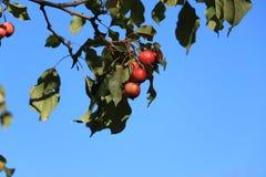 jabłka rozgałęziają się dojrzałego Fotografia Stock