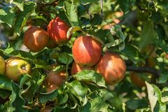 jabłka rozgałęziają się dojrzałego Zdjęcie Stock