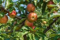 jabłka rozgałęziają się dojrzałego Obraz Royalty Free