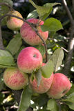 jabłka rozgałęziają się soczysty dojrzałego zdjęcia stock