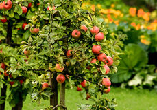 Jabłka - sad Fotografia Royalty Free