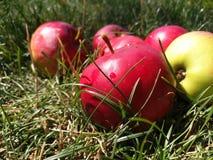 Jabłka trawy, żniwo, jesień fotografia stock