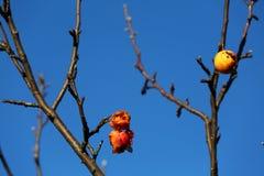 jabłka trwać zdjęcie stock