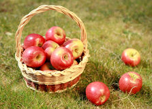 Jabłka w łozinowym koszu w trawie w wieczór słońcu, Fotografia Stock