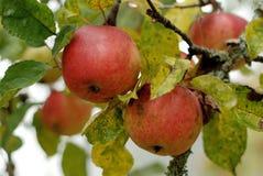 Jabłka w jabłoni Fotografia Royalty Free