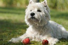 jabłka westy zdjęcia stock