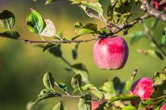 Jabłka wiesza od gałąź w jabłczanym sadzie obrazy stock