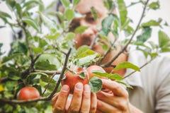 Jabłka zbierają z rolnikiem zdjęcia stock