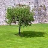 jabłko cienia swój samotny drzewo obraz royalty free