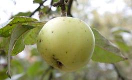 jabłko gałąź Zdjęcia Stock