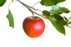 jabłko gałęzi Zdjęcia Stock