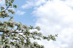 jabłko kwitnie drzewa obrazy stock