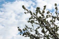 jabłko kwitnie drzewa obraz royalty free