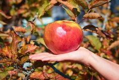 jabłko na ręce obrazy royalty free
