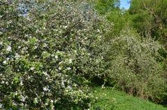 jabłko nagi folował liść drzewa jeden Zdjęcia Stock