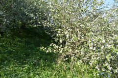 jabłko nagi folował liść drzewa jeden Fotografia Royalty Free