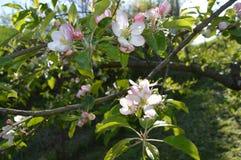 jabłko nagi folował liść drzewa jeden Obraz Stock