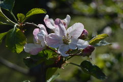 jabłko nagi folował liść drzewa jeden Fotografia Stock