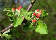 jabłko pączkuje czerwonego drzewa fotografia stock