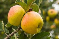 Jabłko rudość na drzewie zdjęcie royalty free