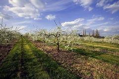 jabłko sadów kwiat Obrazy Stock