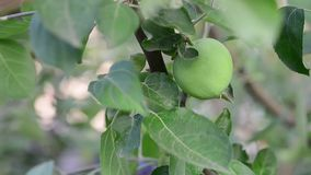 jabłko - zielony drzewo Ogrodowi tła Wiatrowy ruch zbiory