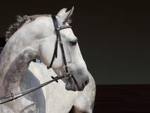 Jabłkowity Andaluzyjski koński portret zdjęcia stock