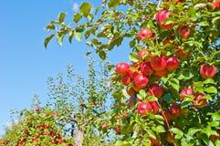 jabłoń Zdjęcia Royalty Free