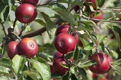 jabłoń Fotografia Royalty Free