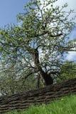 Jabłoń Zdjęcie Stock