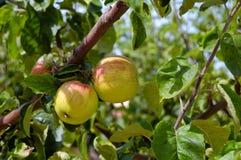 jabłoń Zdjęcie Royalty Free