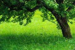 Jabłoń i zielona trawa zdjęcia stock