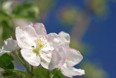 Jabłoń kwiat Fotografia Stock