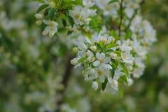 Jabłoń kwiat Obrazy Stock